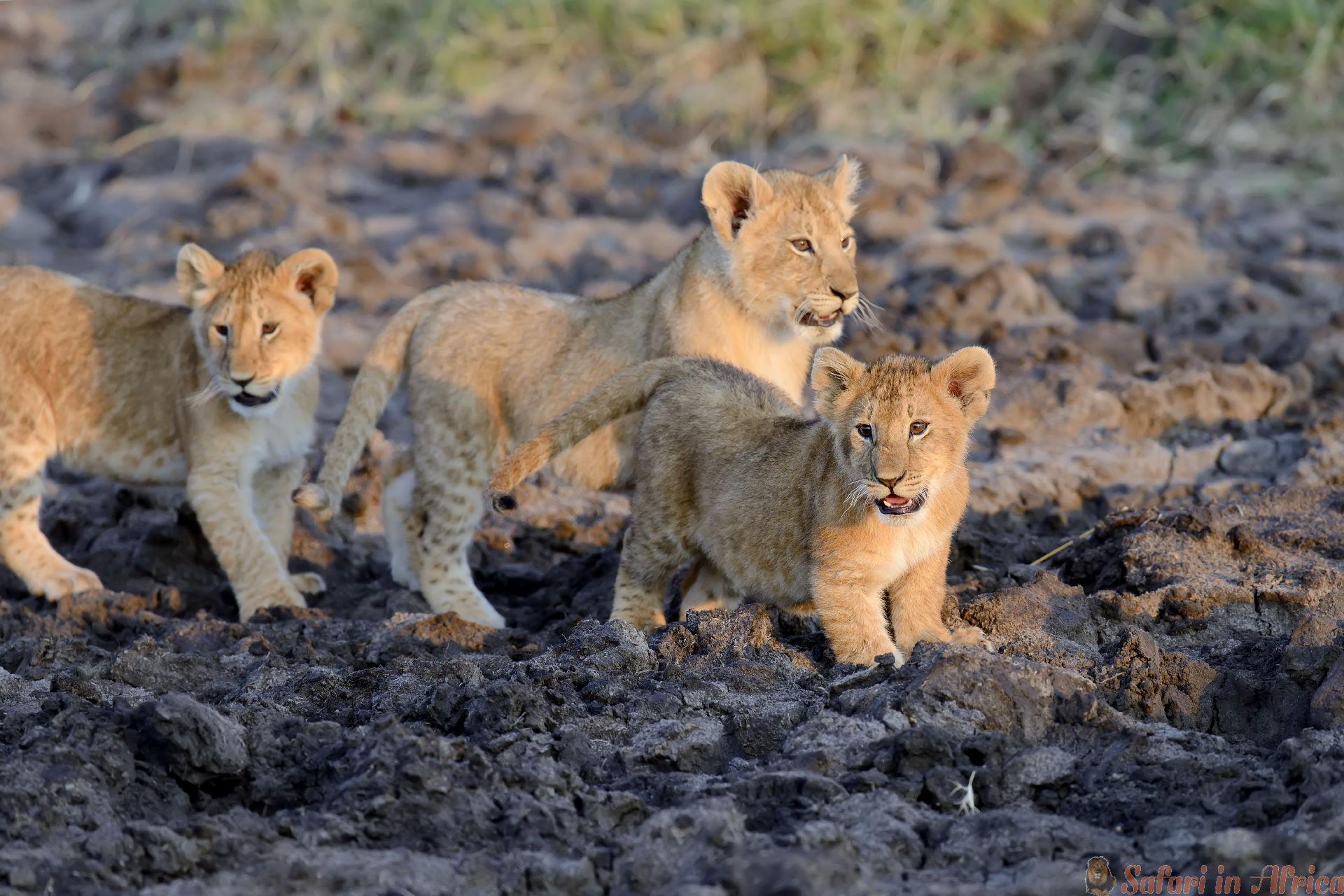 afrikaanse leeuwen jong