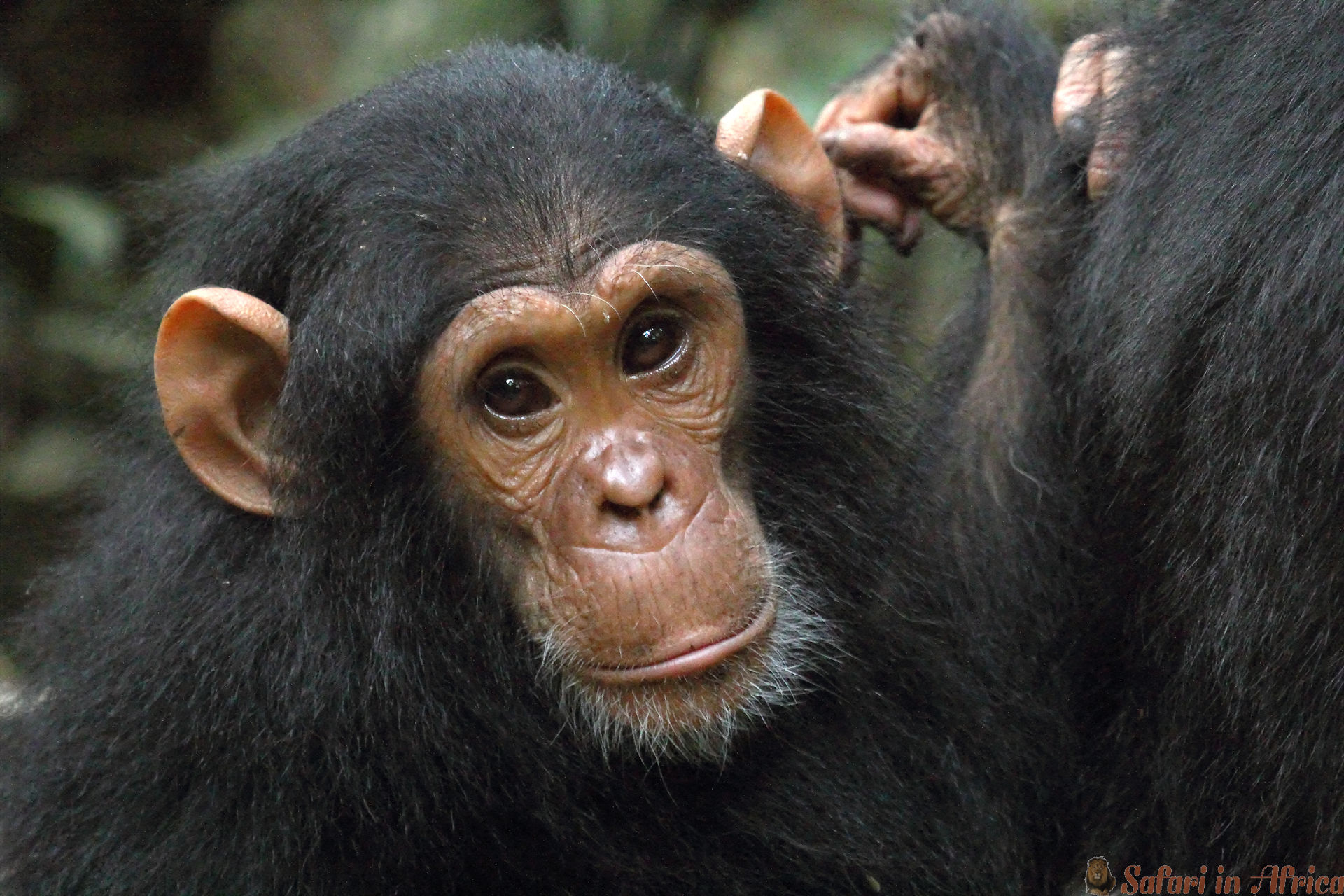 baby-chimpansee-gombe
