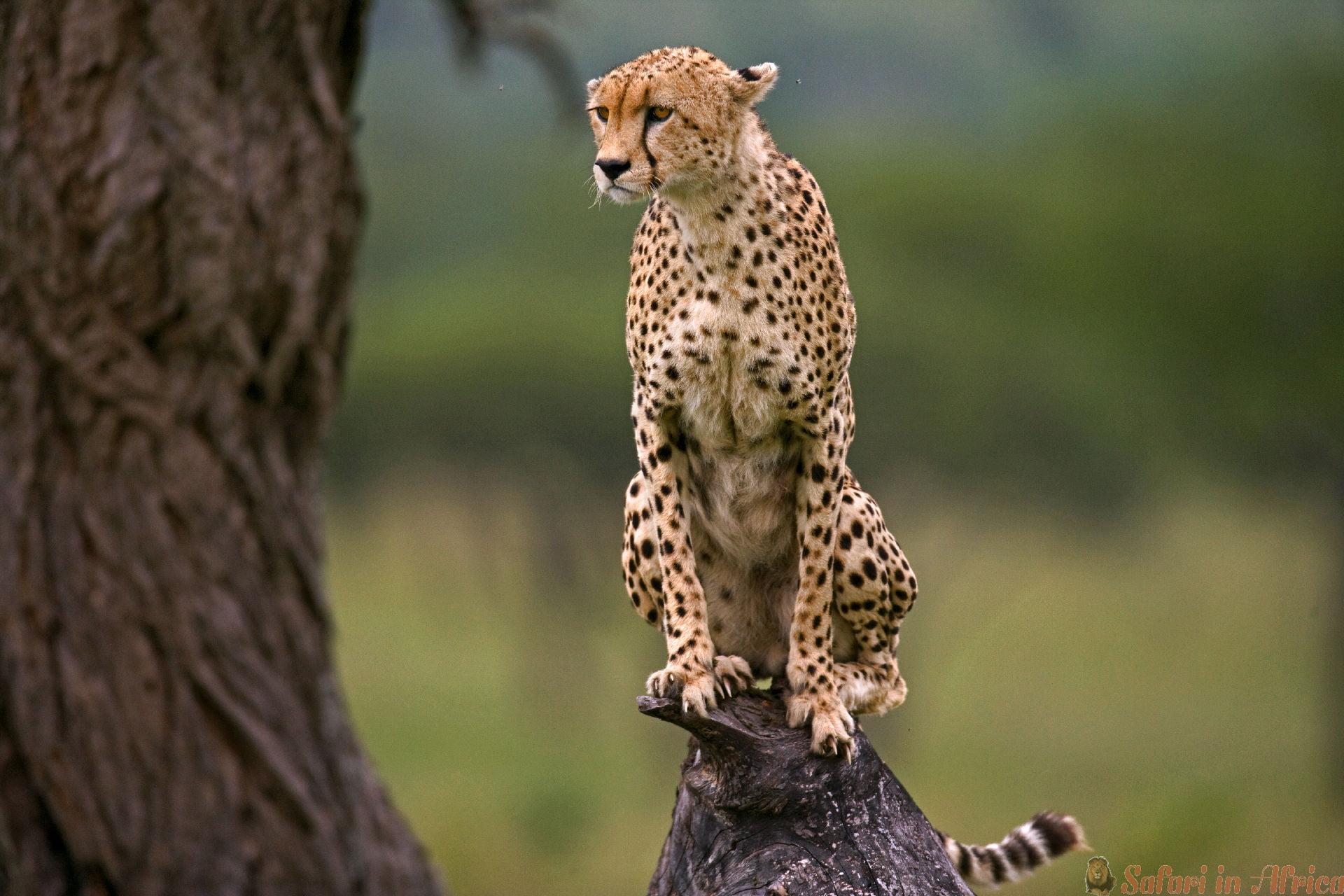 jachtluipaard-zit-op-boom-serengeti-nationaal-park