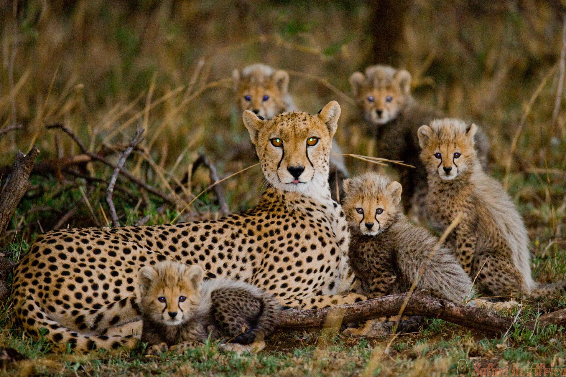 cheetah-met-jongen-serengeti-nationaal-park