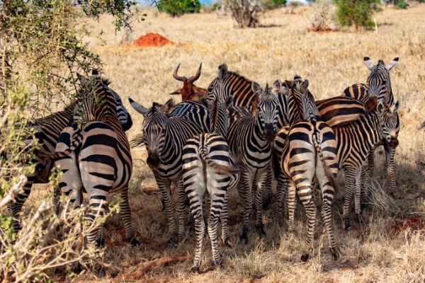 safari-in-afrika_tsavo-zebra