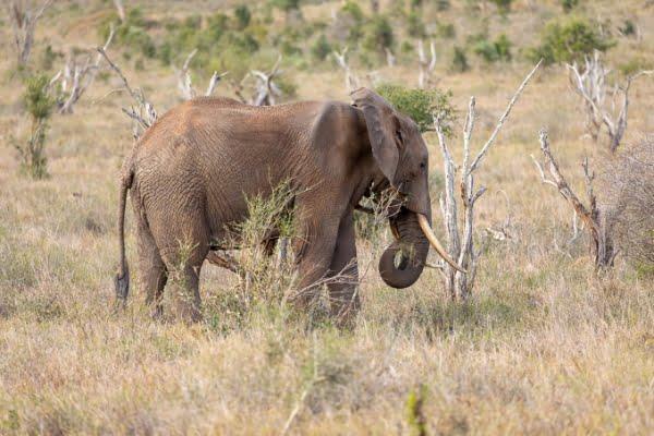 safari-in-afrika_amboseli-olifant