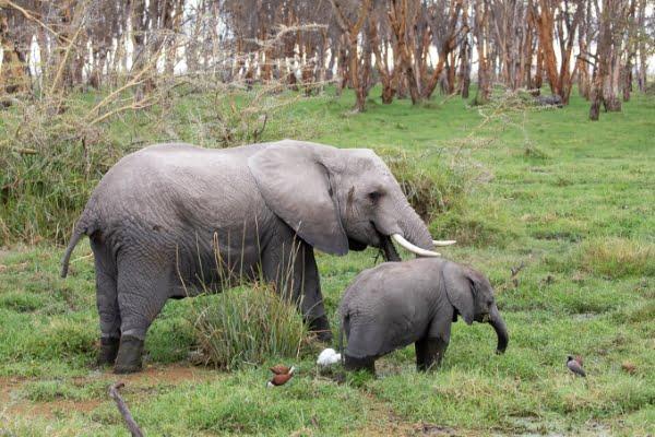 safari-in-afrika_amboseli-olifant-met-jong
