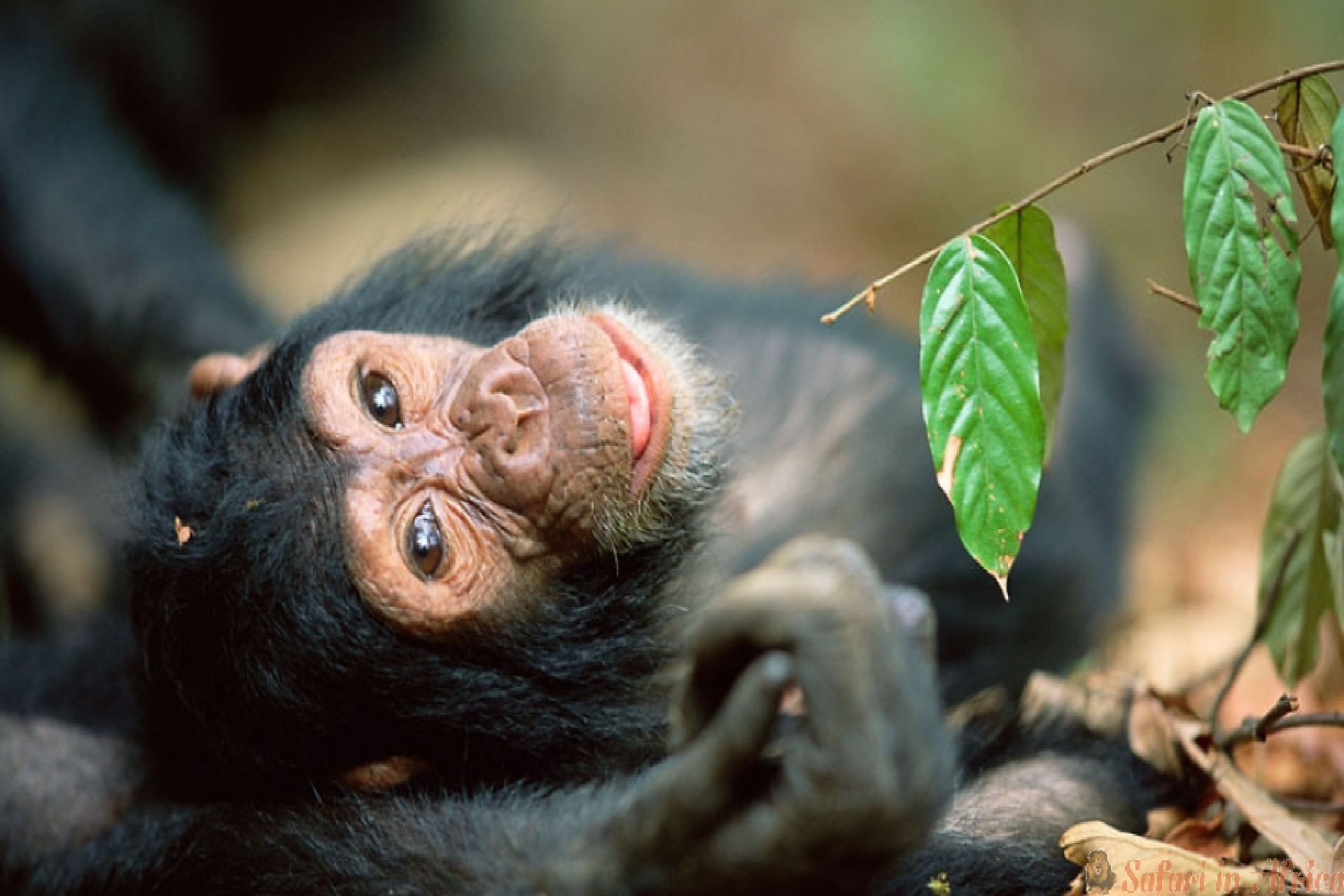 chimpansee-ngyungwe-forest