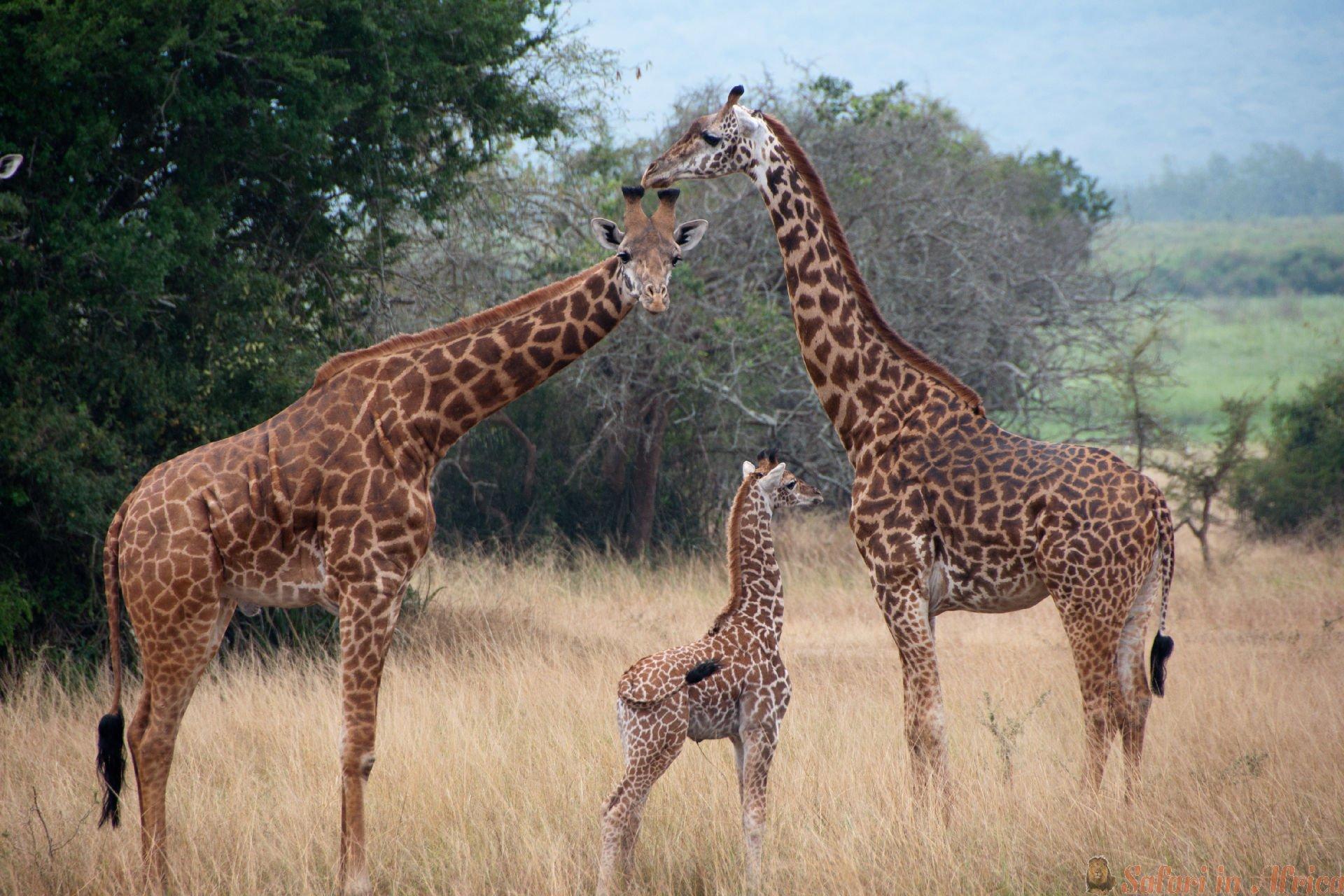 giraffen-in-akagera-nationaal-park-rwanda