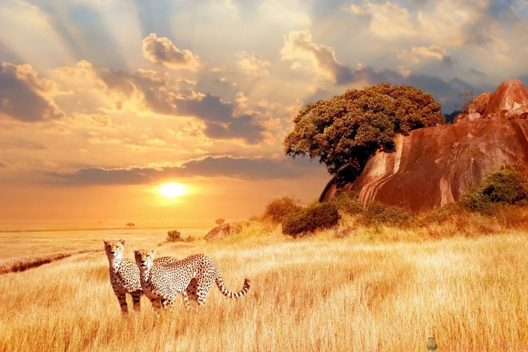 cheetahs-in-de-afrikaanse-savanne-tegen-de-achtergrond-van-een-prachtige-zonsondergang-nationaal-park-serengeti-tanzania
