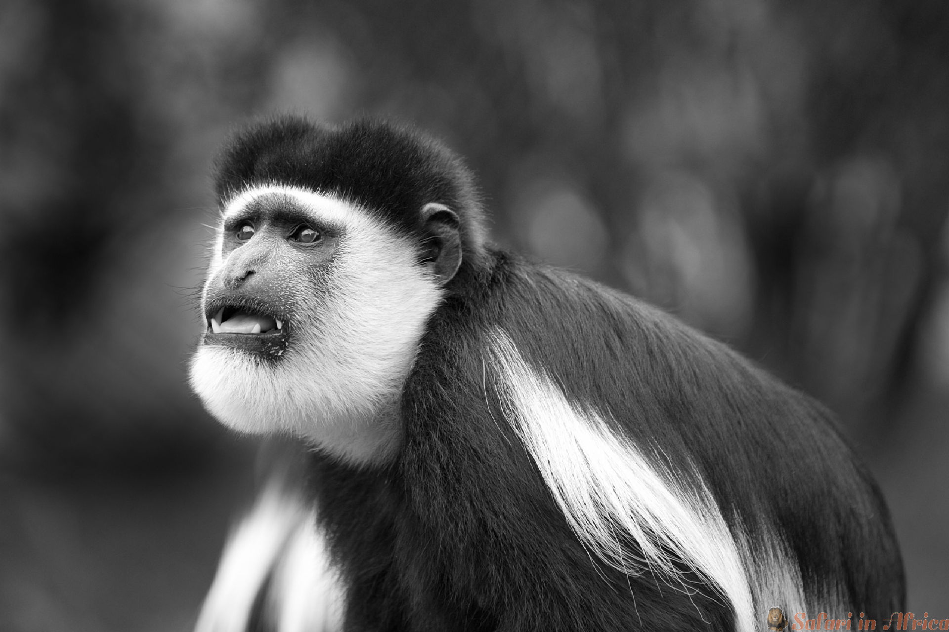 colobus-aapje-b&w