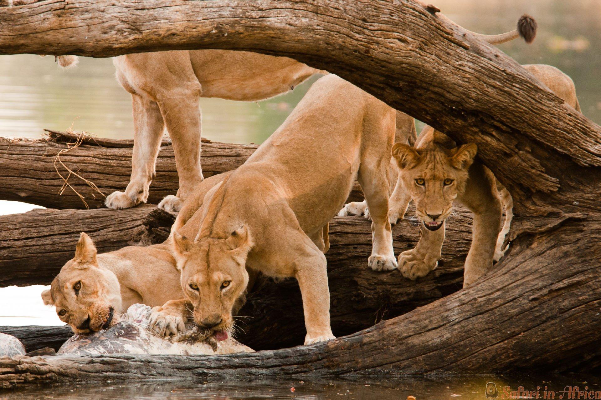 vrouwelijke-leeuwen-voeden-vanuit-hippo-kill-aan-de-oevers-van-de-ruaha-rivier-andrew-molinaro