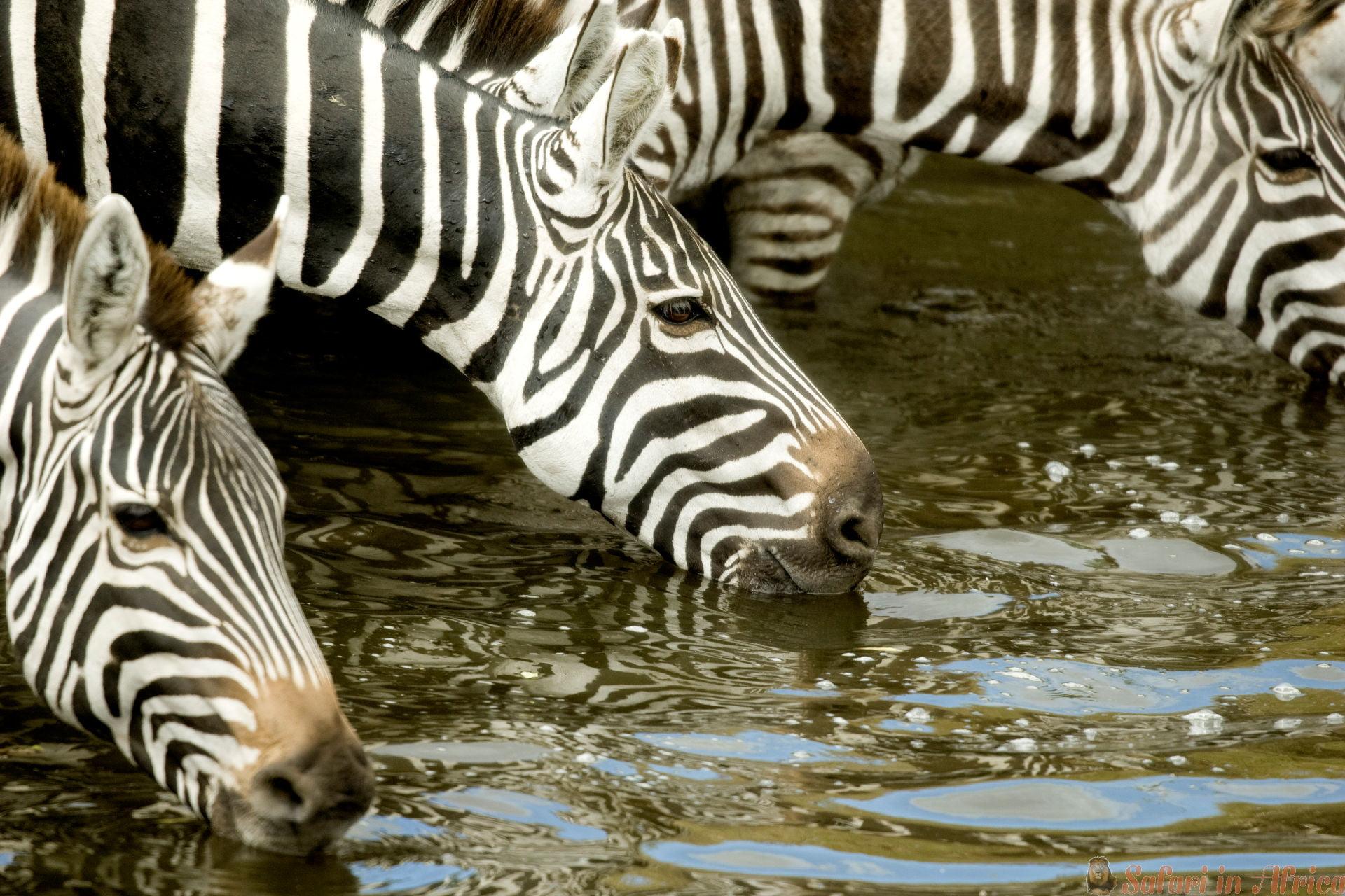 jonge-zebra-bij-masai-mara-kenia.