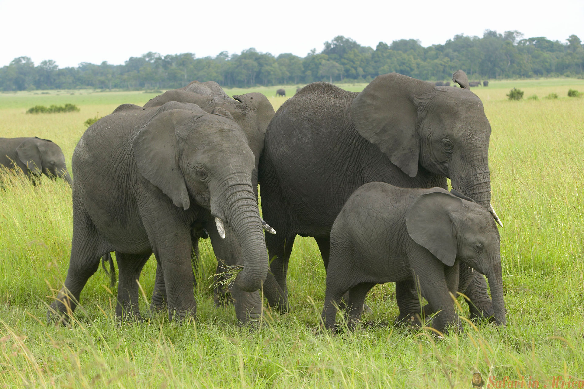 Afrikaanse olifant in graslanden van Lewa Conservancy, Kenia, Afrika