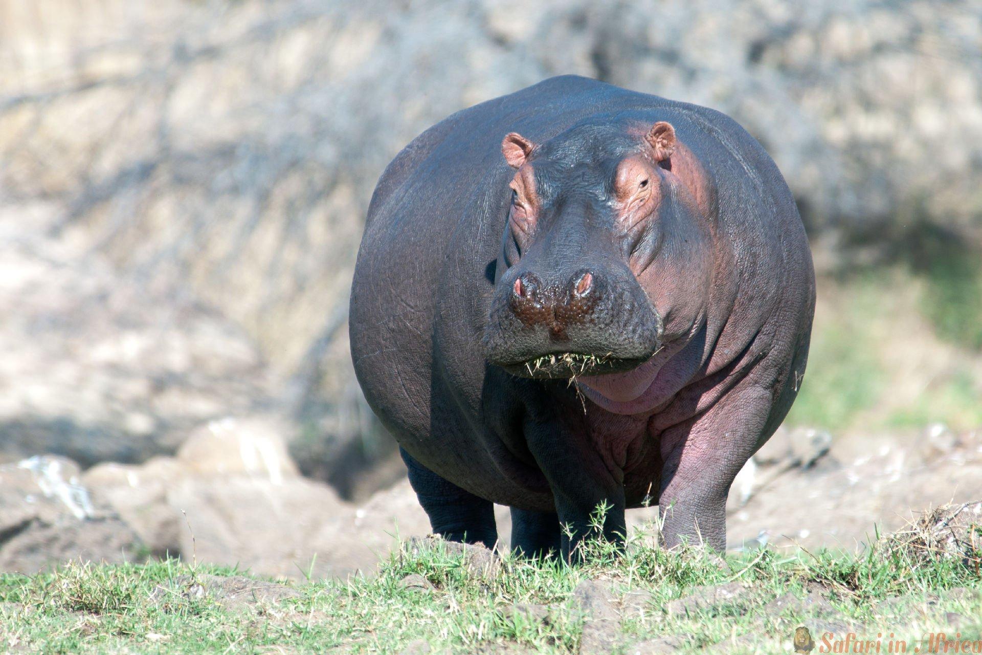 Een enorm mannelijk nijlpaard dat graast aan de oevers van de machtige Ruaha-rivier. Ruaha Nationaal Park