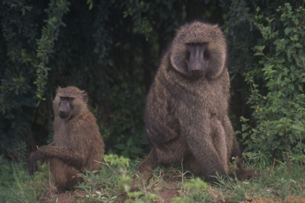 A baboon mother & baby at the campground in Lake Mburo National Park, Uganda