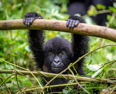 A baby gorila inside the Virunga National Park, the oldest national park in Africa. DRC, Central Africa.