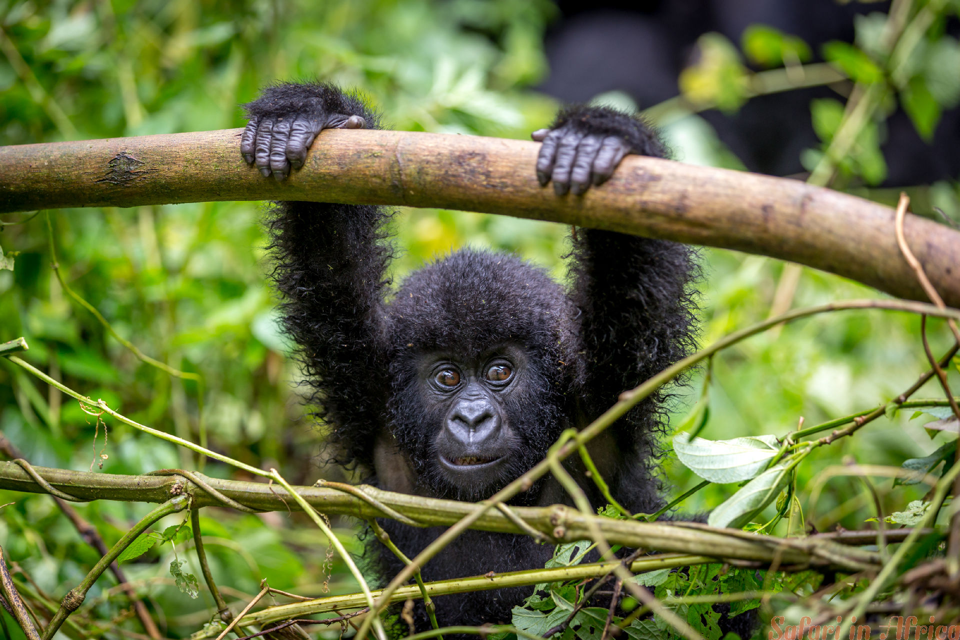 A baby gorila inside the Virunga National Park, the oldest national park in Africa. DRC, Central Africa.