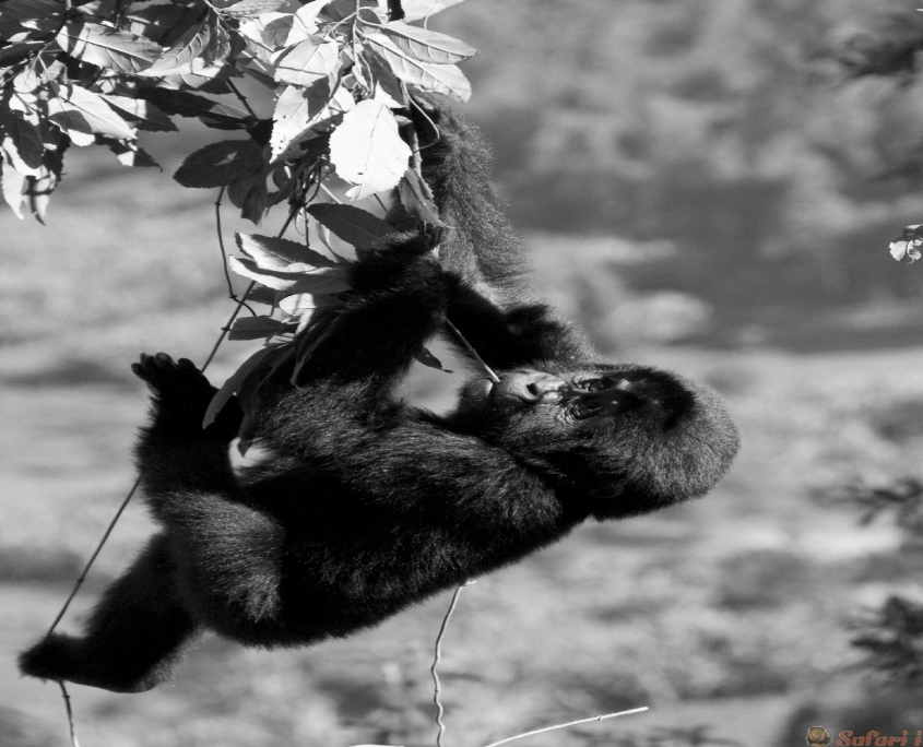 A baby mountain gorilla on a tree. Uganda. Bwindi Impenetrable Forest National Park B&W