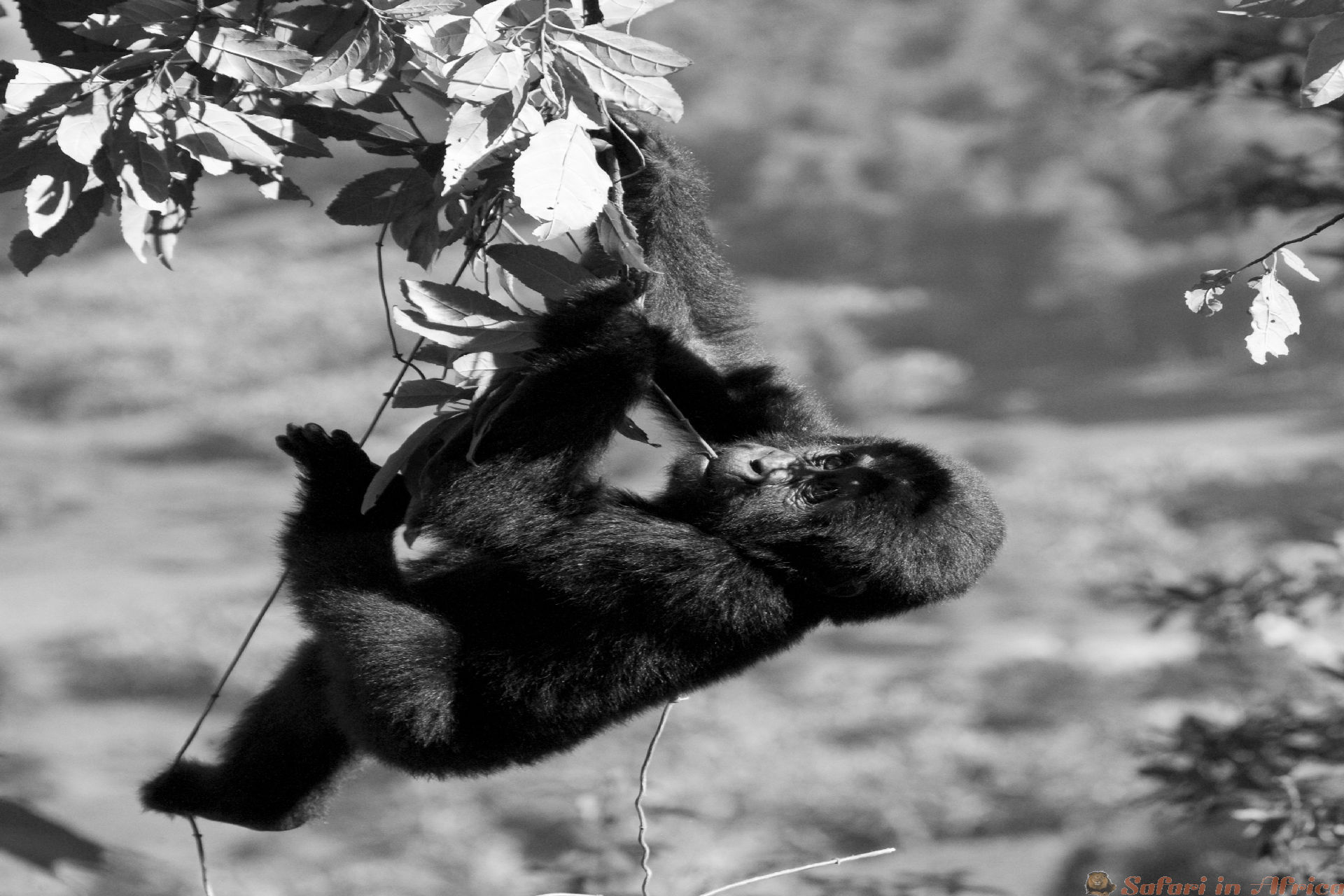 A baby mountain gorilla on a tree. Uganda. Bwindi Impenetrable Forest National Park B&W
