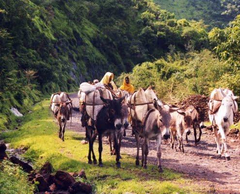 A caravan of donkeys in the tigray area in ethiopia