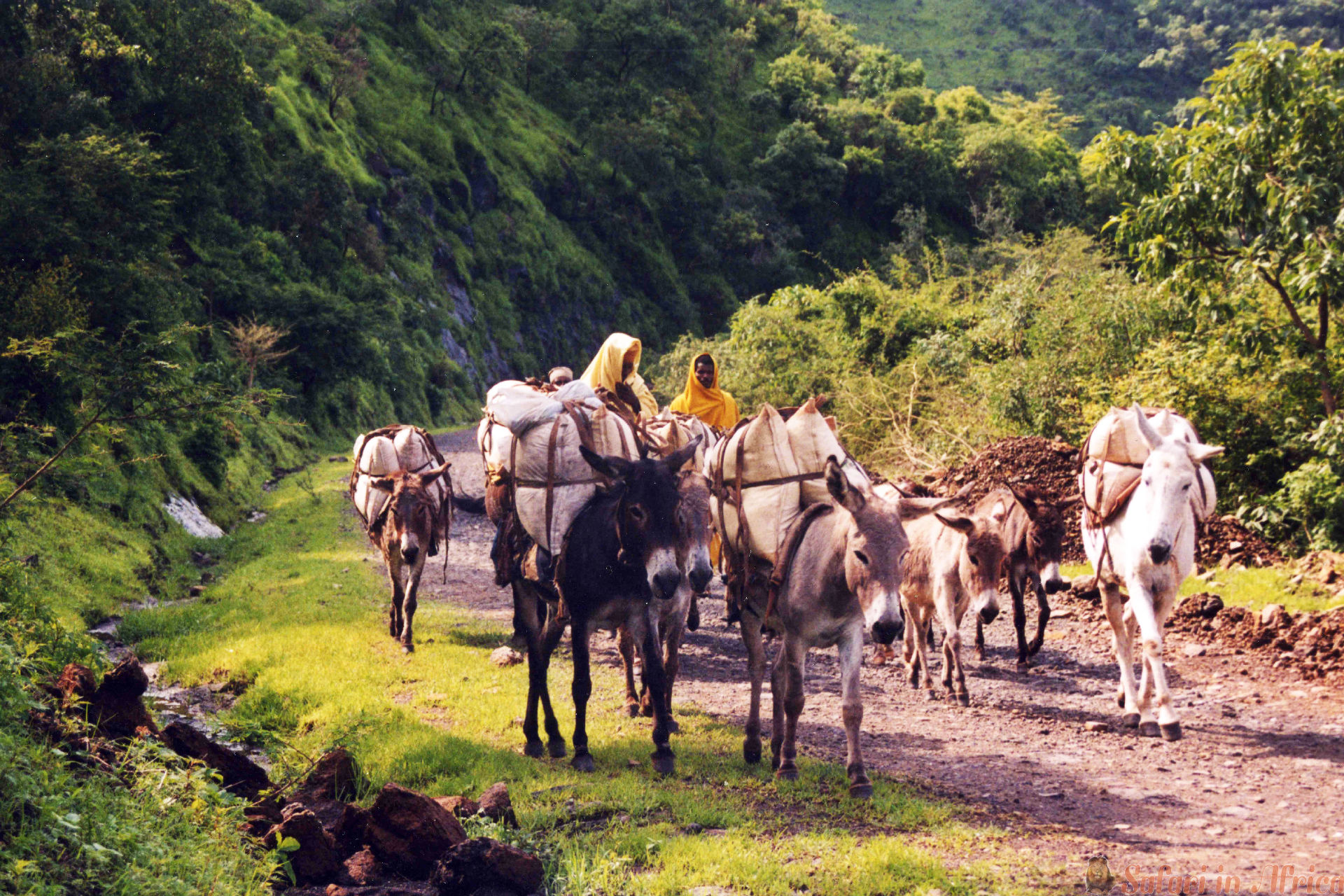 A caravan of donkeys in the tigray area in ethiopia