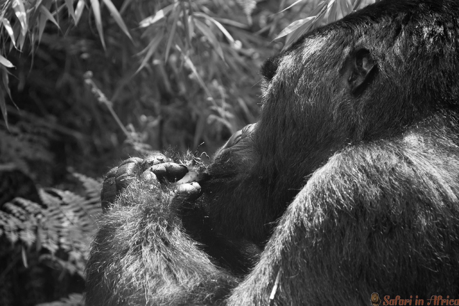 A close-up op een gorilla in het bos bezig met eten, Rwanda Musanze B&W