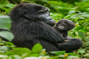 A female mountain gorilla with a baby. Uganda. Bwindi Impenetrable Forest National Park