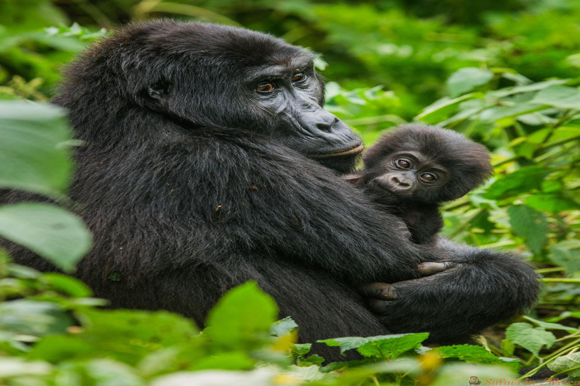 Een vrouwelijke berggorilla met een baby. Oeganda. Bwindi Impenetrable Forest National Park