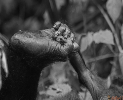 A foot of mountain gorillas. Close-up. Bwindi Impenetrable Forest National Park, Uganda B&W