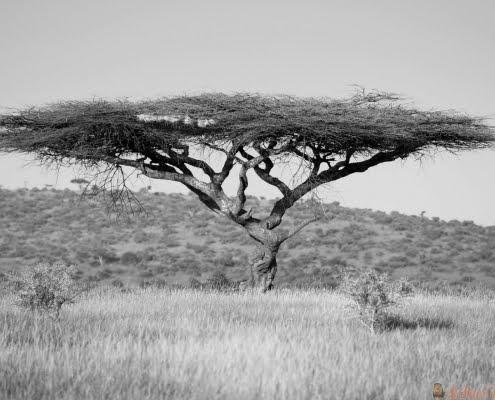 Acacia tree in green grass of Lewa Wildlife Conservancy, North Kenya, Africa B&W