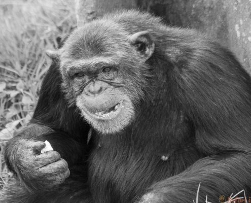 Adult female chimpanzee seats back to tree and eats. Ngamba island chimpanzee sanctuary, Uganda B&W