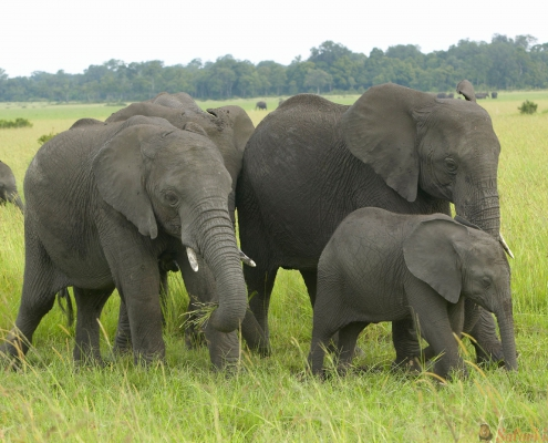African Elephant in grasslands of Lewa Conservancy, Kenya, Africa