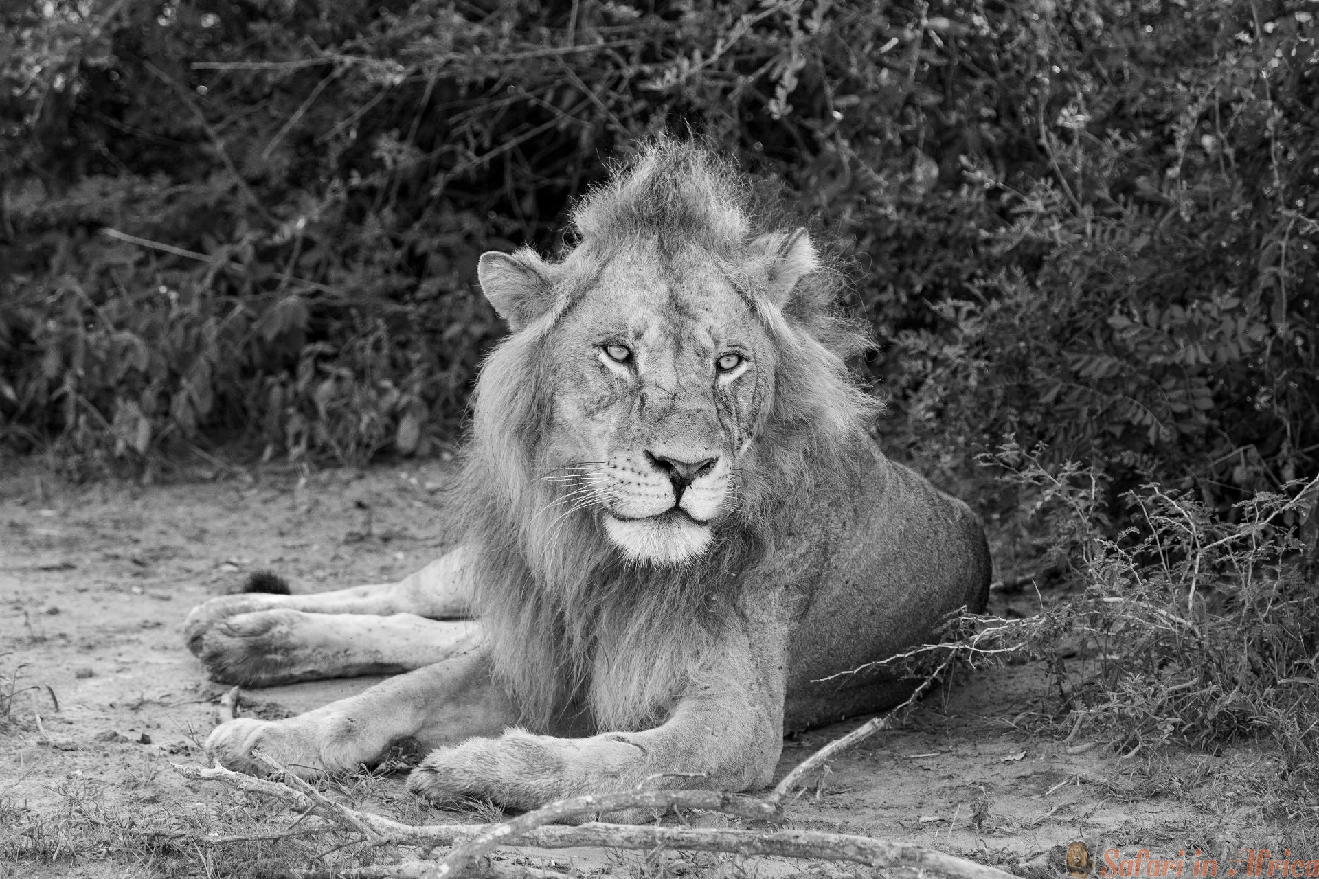 rustende Afrikaanse leeuw bij het Murchison Nationale Park in Oeganda, Afrika B&W