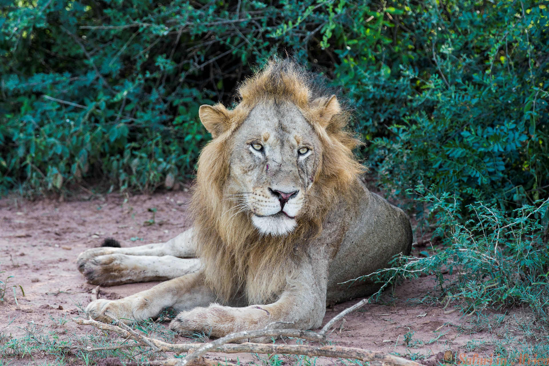 African Lion resting at the Murchison Falls National Park in Uganda, Africa