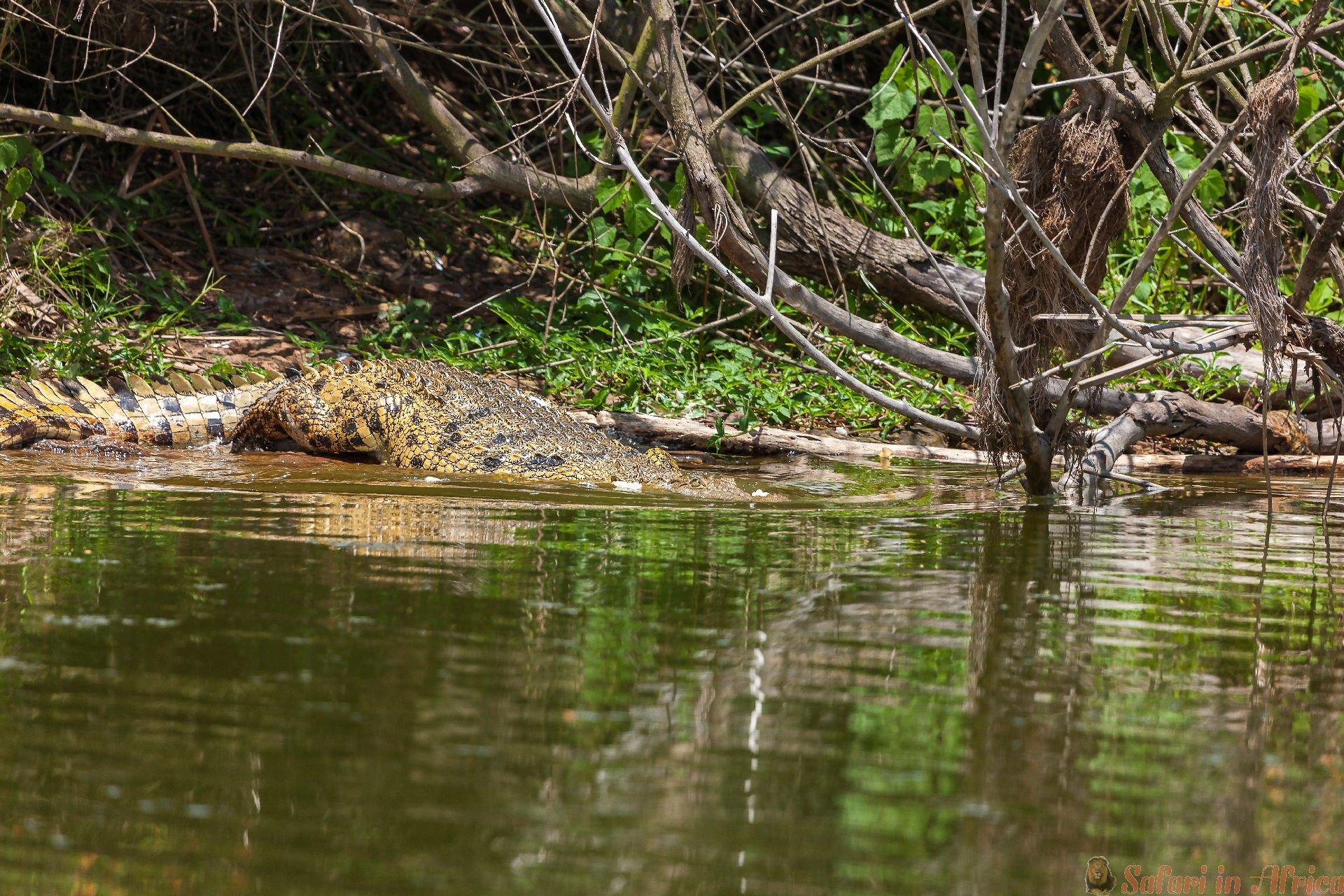 Aligator bij Meer Hago die in de zon, het Nationale Park van Akagera, Rwanda rusten
