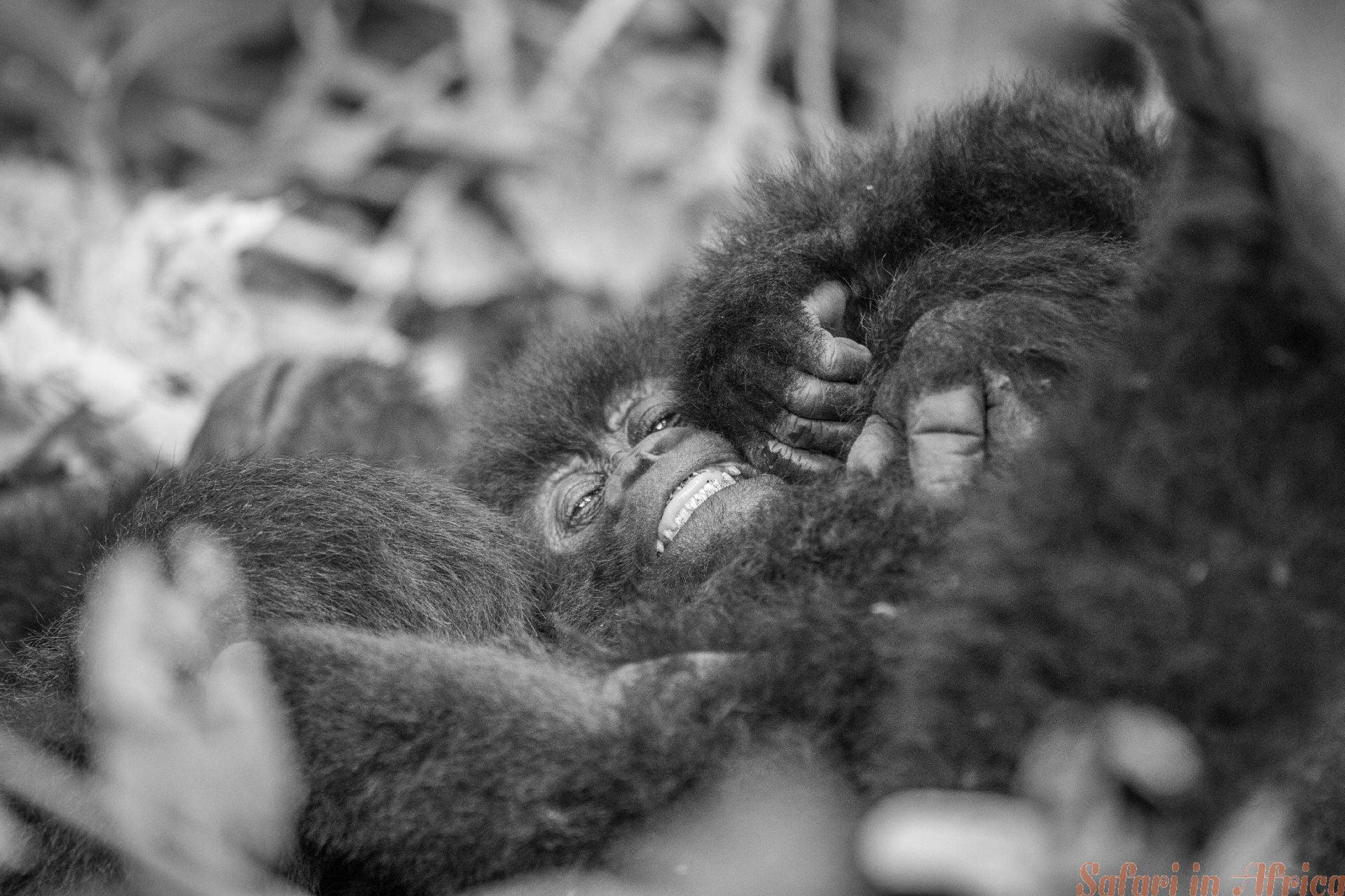 Baby Silverback-berggorilla in het Virunga National Park B&W