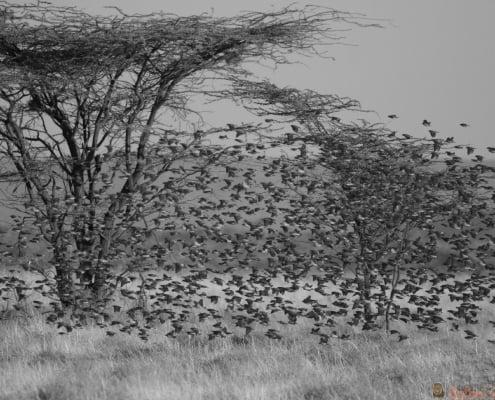 Bird-Lovers Paradies at Ngoro River in Samburu Nationalpark. B&W