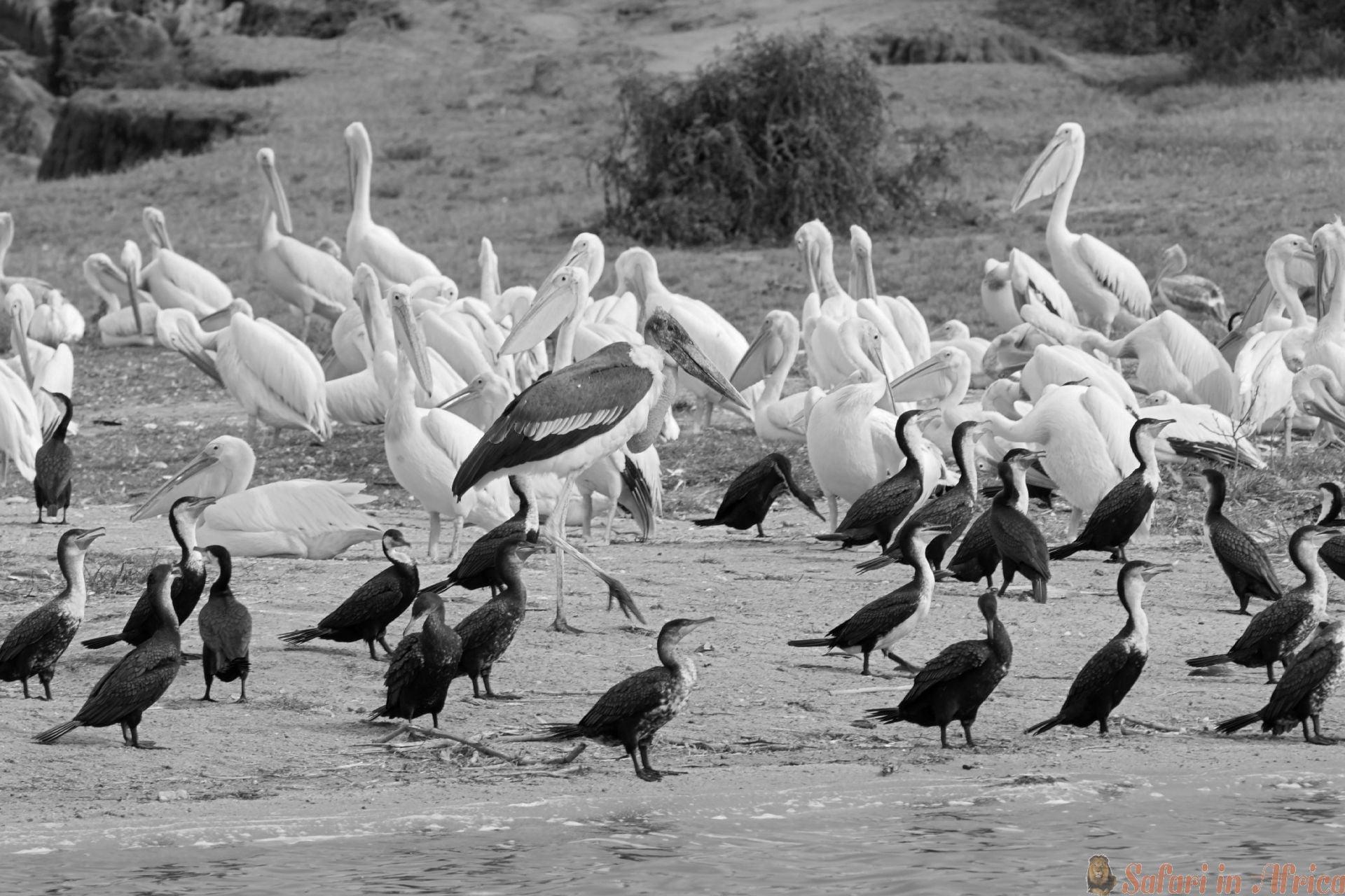 Vogels in het Queen Elizabeth National Park in Oeganda B&W