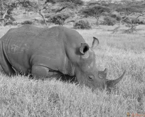 Black rhino in Lewa Conservancy, Kenya, Africa grazing on grass B&W