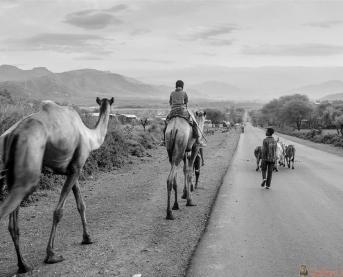 Boys going home with animal in a road of north Ethiopia B&W