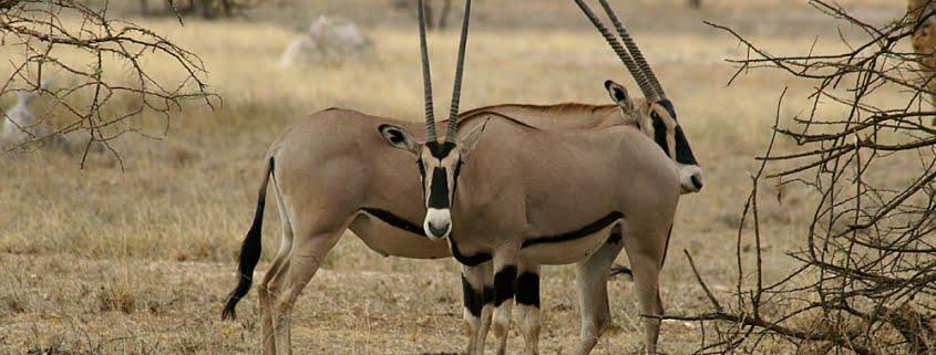 Buffalo_springs_en_samburu_3