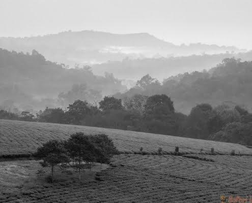 Bwindi tea plantations B&W