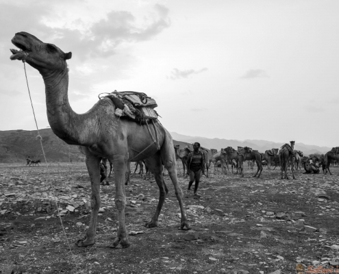 Camel market in the Afar region in northern Ethiopia B&W