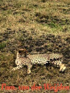 Cheetah Masai
