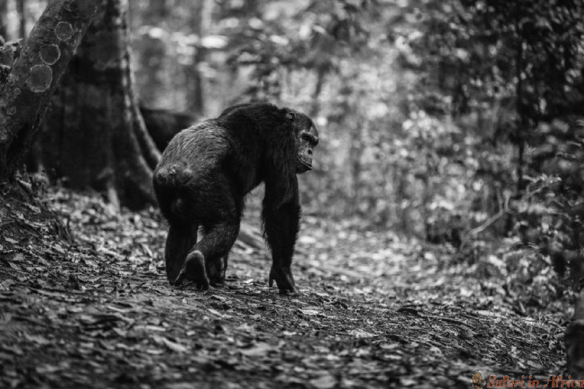 Chimpansee Nyungwe bos B&W