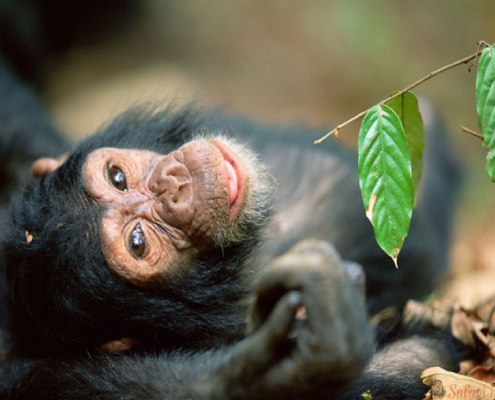 chimpansee Ngyungwe bos 2