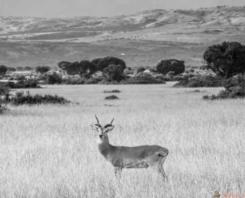 Maïskolfantilope in Queen Elizabeth National Park Uganda met de Rwenzori-bergen op de achtergrond B&W
