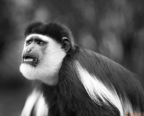 Colobus Monkey B&W