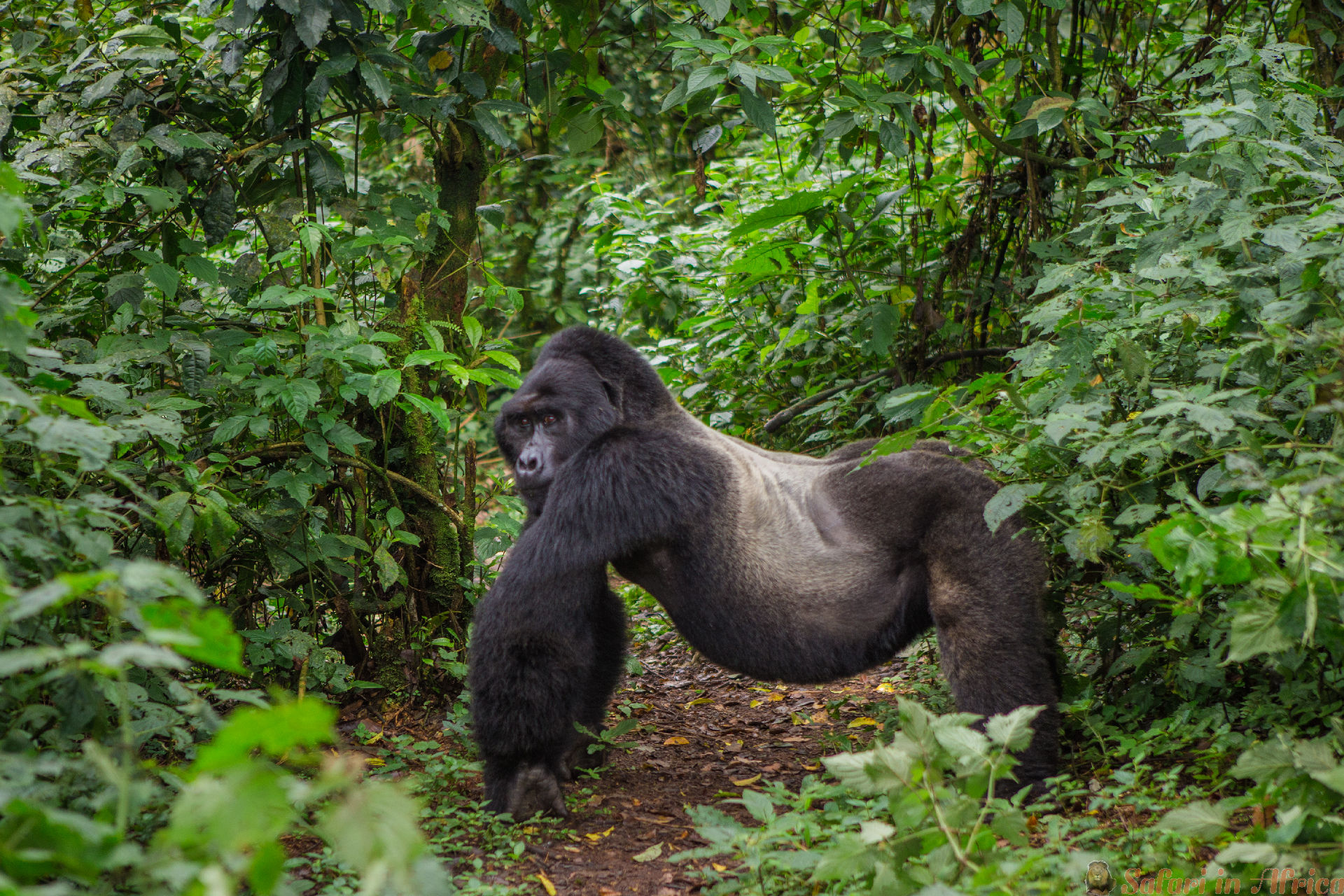 Dominant male mountain gorilla in rainforest. Bwindi Impenetrable Forest National Park, Uganda