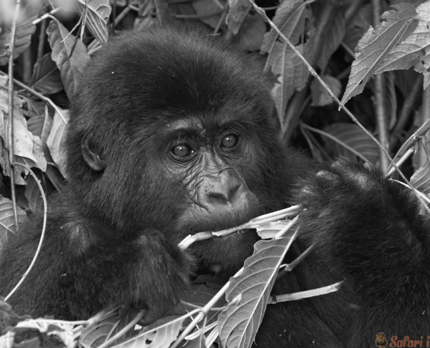 Eastern mountain gorilla baby in rainforest, Bwindi impenetable N.P.,Uganda B&W