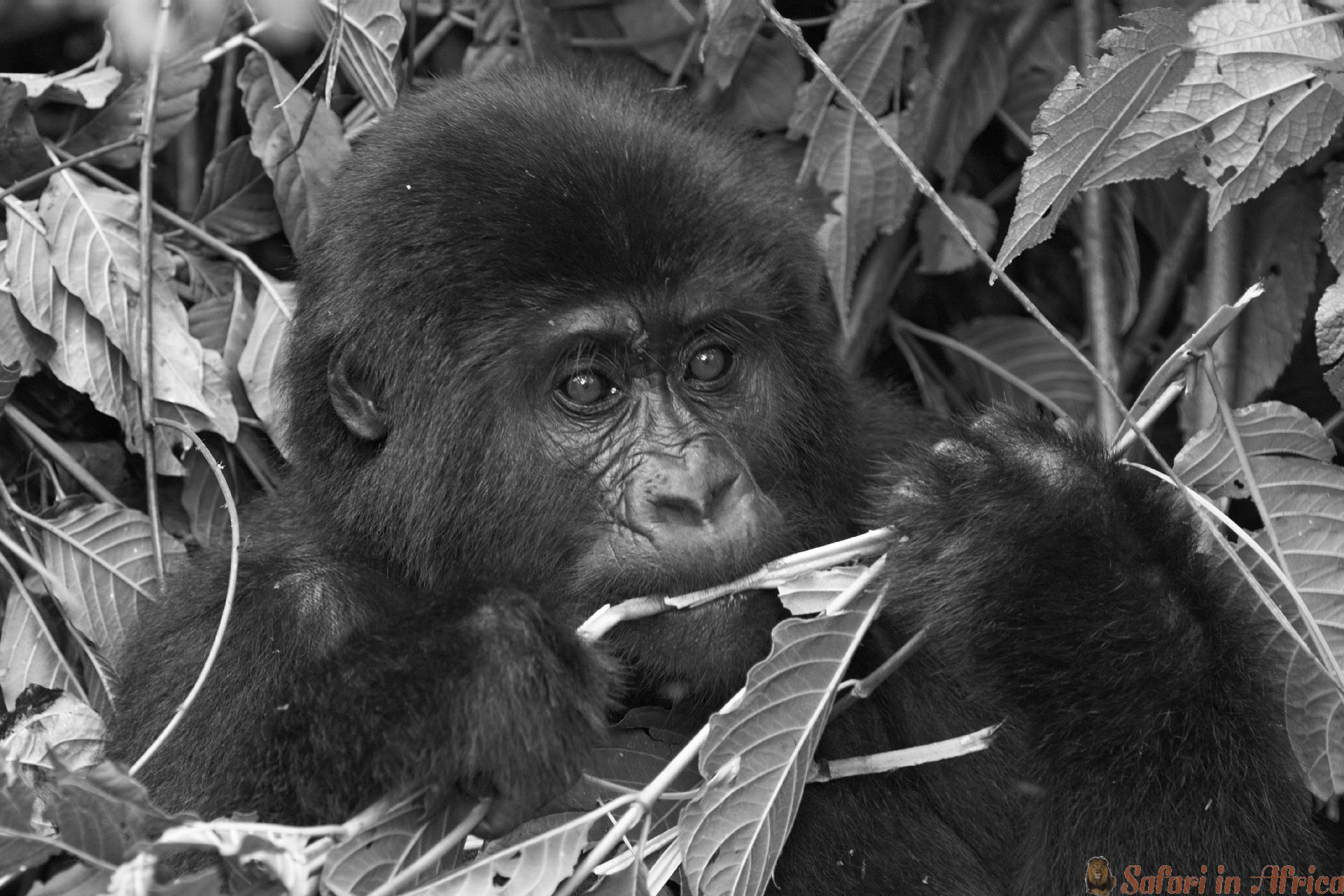 Eastern mountain gorilla baby in rainforest, Bwindi impenetable N.P.,Uganda B&W