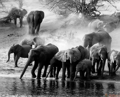 Elephants, Ruaha, Tanzania B&W