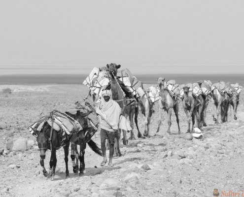 Ethiopian salt caravan. Danakil, cultural B&W